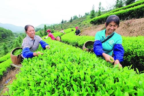 近日,在灵川县潭下镇井背村富硒茶茶场,茶农们正在忙着采茶.