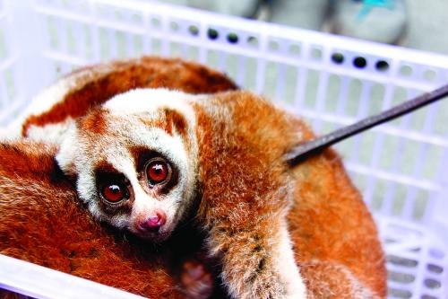 倒卖国家一级保护动物蜂猴