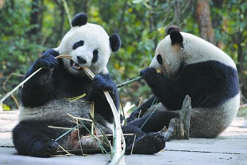 """熊猫保育明信片设计大赛"""",""""百人绘百熊"""",""""黑白动物趣味摄影比赛""""等"""