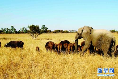 母象守护野牛群40载