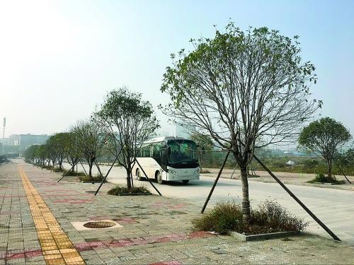 灵川县灵北路延长线道路两边的绿化树早已种好
