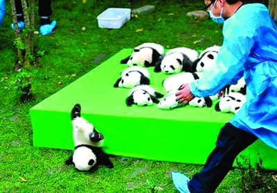 """大熊猫宝宝一个倒栽葱摔成""""世界最佳照片"""""""