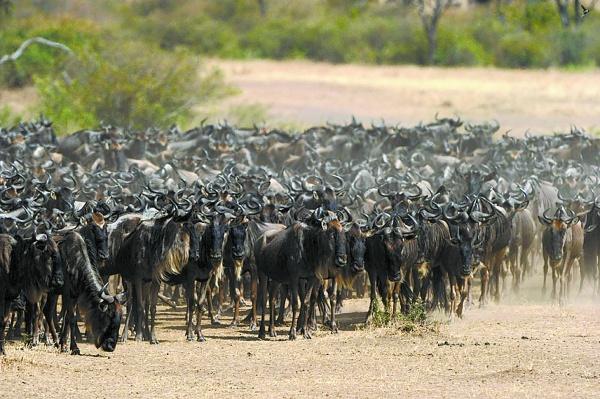 """壮观的迁徙场面  为了追逐水草,成千上万头角马和斑马,在广袤的马赛马拉和赛伦盖蒂大草原来回迁徙。  一旦过河的队伍被惊扰,剩下的角马就会返身回头,放弃过河。  等待过河的角马群。   非洲动物大迁徙,是我们这个星球上最壮观的自然景象之一。近日,""""走进非洲""""特派记者挺进大草原,驱车马拉河,在辽阔的马赛马拉纵横驰骋,千里跋涉,目标只有一个,就是要记录、见证这一自然界的奇观,并为我们的读者全景展现。   大迁徙只为了传说中美丽的草原   每年5到6月,旱季来临,坦桑尼亚大草原的青草"""