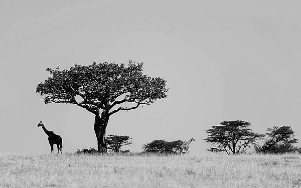 着比树更高的可爱动物———长颈鹿