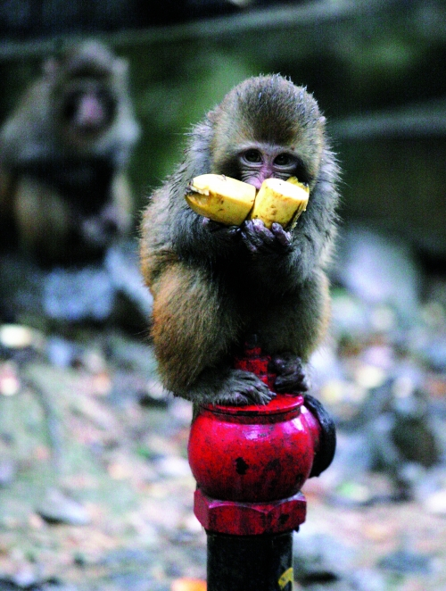 动物园里的这只小猴子站在消火栓上