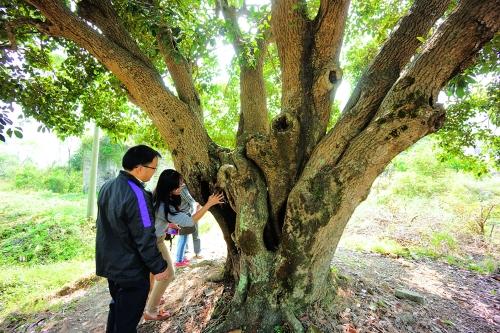 园林局组织的桂花树种植专家